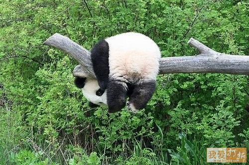 干しパンダ
